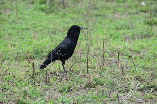 Cape Rook - Corvus capensis - Ngorongoro NP Tanzania D800 2017-11-11-309.jpg