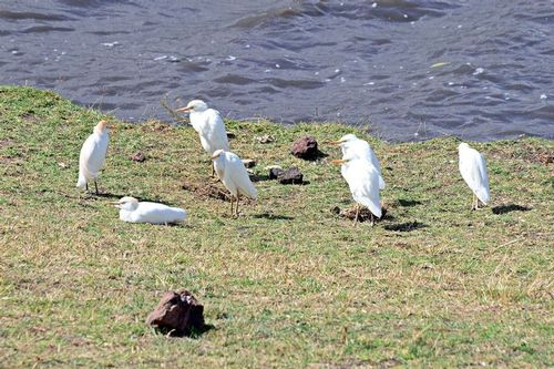 Cattle Egret - Bubulcus ibis - Ngorongoro NP Tanzania - D800 089 11-18-14CE.jpg