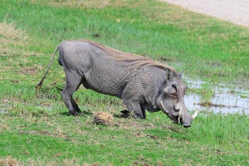 Central African Warthog - Phacochoerus africanus massaicus - Amboseli NP D800 2017-11-17-363CE.jpg