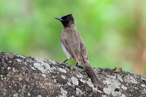 Common Bulbul - Pycnonotus barbatus - Lake Manyara NP Tanzania - D800 2017-11-13-286CE.jpg