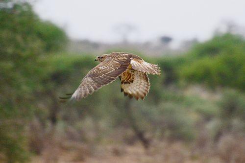 Common Buzzard - Buteo Buteo  - Tarengire NP Tanzania D800 028 11-21-14CE.jpg