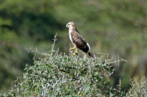 Common Buzzard - Buteo buteo - Lake Nakuru NP Kenya - D2X 157 11-6-14E.jpg