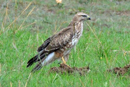 Common Buzzard - Buteo buteo - Lake Nakuru NP Kenya - D800 2017-11-02-077CE.jpg