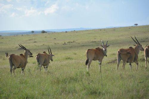 Common Eland - Taurotragus oryx - Masai Mara NP Kenya - D5200 700 11-8-14.jpg