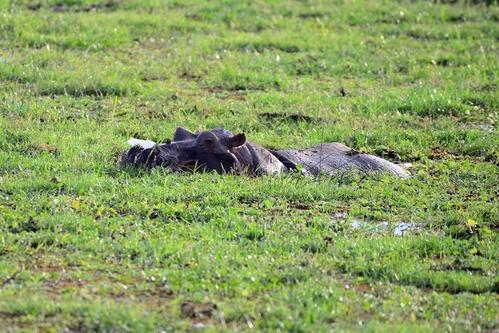 Common Hippopotamus - Hippopotamus amphibious - Amboseli NP Kenya D800 2017-11-16-033CE.jpg