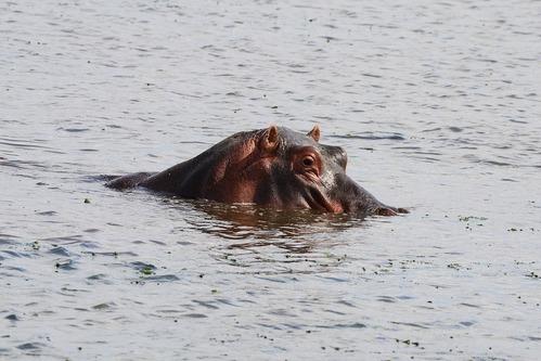 Common Hippopotamus - Hippopotamus amphibious - Amboseli NP Kenya D800 2017-11-17-720CE.jpg