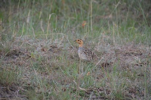 Coqui Francolin - Francolinus coqui - Serengeti NP Tanzania D5200 345 11-15-14.jpg
