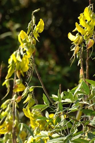 Crotalaria Genus  - Rattlepods - Aberdares NP - Kenya - D2X 2017-10-22-041CE.jpg