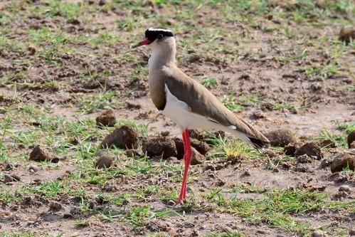 Crowned Lapwing - Vanellus coronatus - Amboseli NP Kenya D800 2017-11-17-258CE.jpg