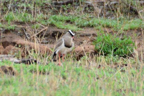 Crowned Lapwing - Vanellus coronatus - Tarengire NP Tanzania D800 122 11-21-14CE.jpg