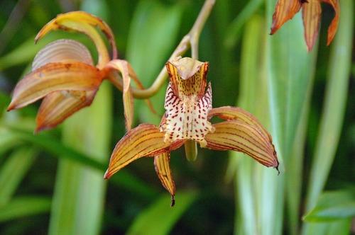 Cymbidium Orchid - Cymbidium tracyanum - Kakamega NP Kenya - D2X 2017-10-31-087CE.jpg
