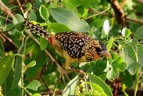 D Arnauds barbet - Trachyphonus darnaudii - Samburu NP Kenya D800 2017-10-24-298CE.jpg