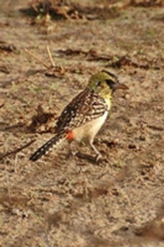 D Arnauds barbet - Trachyphonus darnaudii - Tarengire NP Tanzania D2X 274 11-20-14CE.jpg