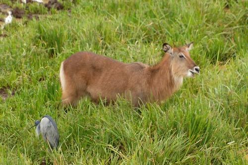 Defassa Waterbuck - Kobus ellipsiprymnus - Aberdares NP Kenya - D2X 2017-10-23-027CE.jpg