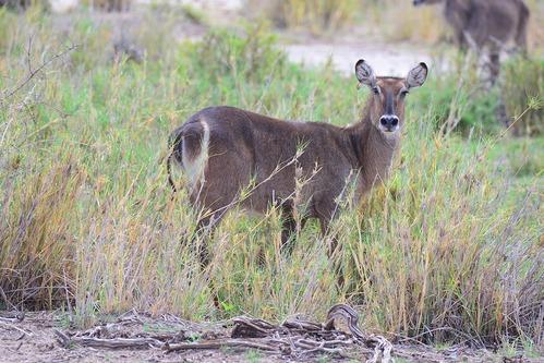 Defassa Waterbuck - Kobus ellipsiprymnus defassa - Amboseli NP Kenya D800 2017-11-17-678CE.jpg