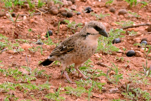 Donaldson-Smiths Sparrow Weaver - Plocepasser donaldsoni - Samburu NP D800 2017-10-24-197CE.jpg