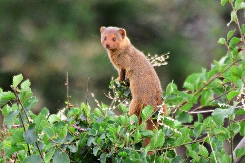 Dwarf Mongoose - Helogale parvula - Serengeti NP Tanzania D800 288 11-15-14CE.jpg