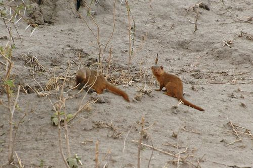 Dwarf Mongoose - Helogale parvula - Tarangire NP Tanzania D2X 003 11-20-14CE.jpg
