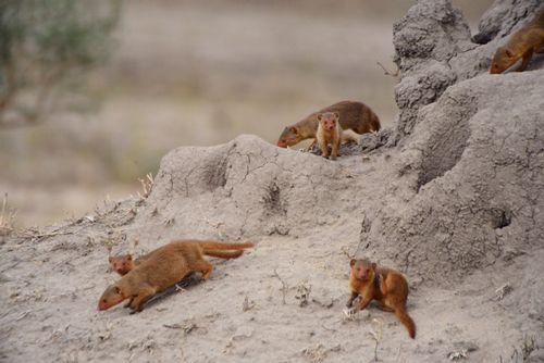 Dwarf Mongoose - Helogale parvula - Tarengire NP Tanzania D800 012 11-20-14CE.jpg