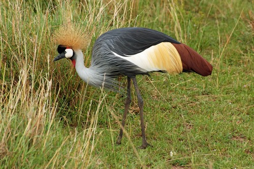 East African Crowned Crane - Balearica regulorum gibbericeps - Masai Mara D2X 2017-11-03-002CE.jpg
