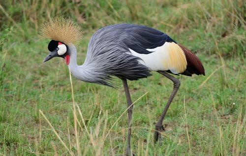 East African Crowned Crane - Balearica regulorum gibbericeps - Masai Mara D800 2017-11-03-018CE.jpg
