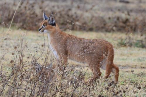 Eastern African Caracal - Caracal caracal - Ngorongoro NP Tanzania - D800 2017-11-10-624CE.jpg