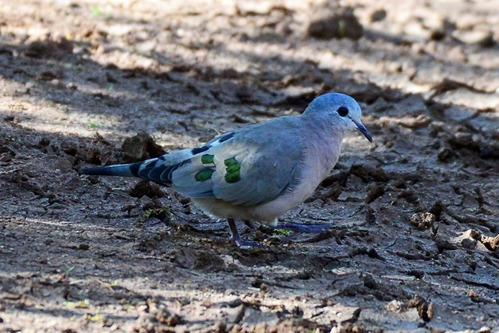 Emerald-spotted Wood-Dove - Turtur chalcospilos - Lake Manyara NP - D800 2017-11-13-205CE.jpg
