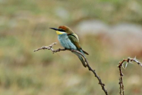 European Bee-Eater -  Merops apiaster - Serengeti NP Tanzania D800 220 11-15-14CE.jpg