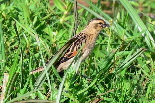 Fan-tailed Widowbird - Euplectes axillaris - Lake Manyara NP - D800 2017-11-13-145CE.jpg