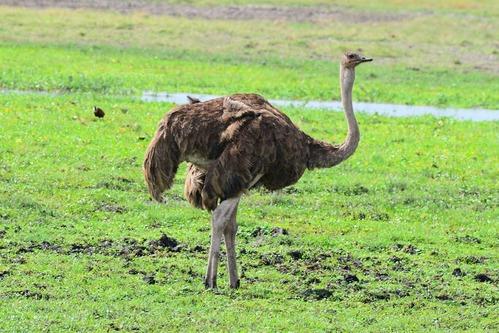 Female Maasai Ostrich - Struthio camelus massaicus -Amboseli NP Kenya D800 2017-11-17-345CE.jpg