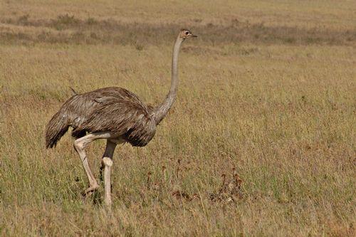 Female Maasai Ostrich - Struthio camelus massaicus -Serengeti NP Tanzania D2X 046 11-17-14CE.jpg