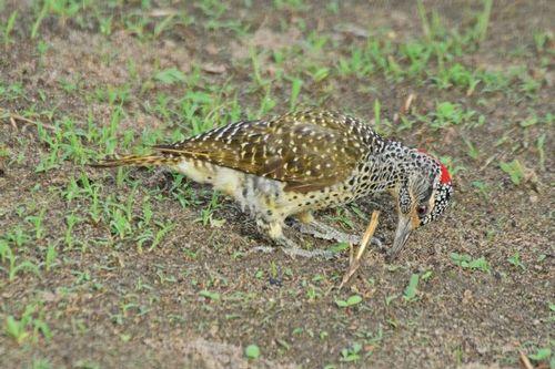Female Nubian woodpecker - Campethera nubica - Tarengire NP D800 301 11-20-14CE.jpg