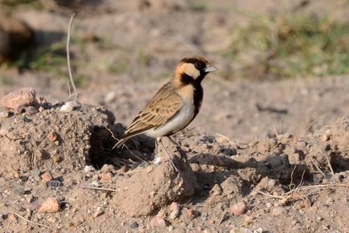 Fischers Sparrow Lark -  Eremopterix leucopareia - Amboseli NP Kenya D800 2017-11-17-093CE.jpg