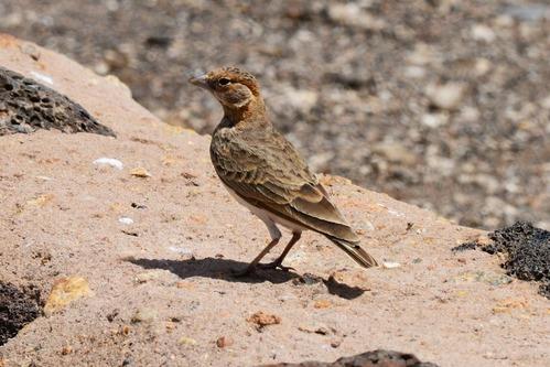 Fischers Sparrow Lark -  Eremopterix leucopareia - Amboseli NP Kenya D800 2017-11-17-622CE.jpg