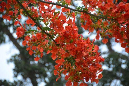 Flamboyant Tree - Delonix regia - Tsavo NP Kenya D5200 001 11-13-14.jpg