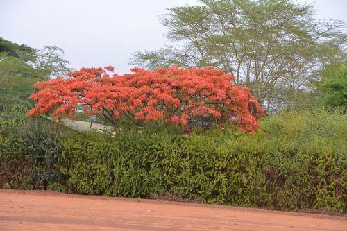 Flamboyant Tree - Delonix regia - Tsavo NP Kenya D5200 023 11-13-14.jpg