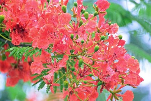 Flamboyant Tree - Delonix regia - Tsavo NP Kenya D800 004 11-13-14E.jpg