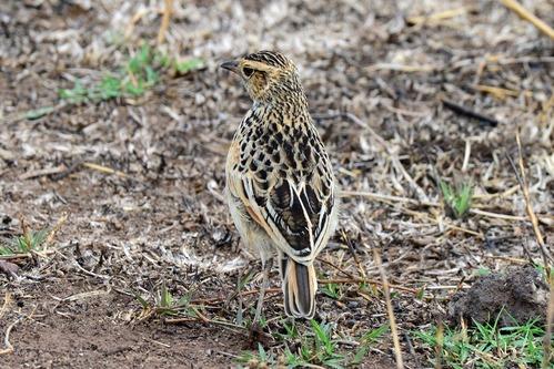 Flappet Lark -  Mirafra rufocinnamomea - Ngorongoro NP Tanzania D800 2017-11-11-109CE.jpg