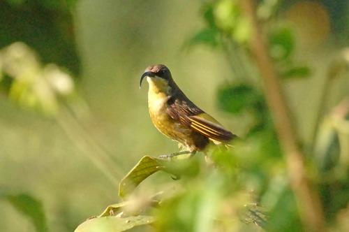 Golden-winged Sunbird - Drepanorhynchus reichenowi - Aberdares NP - D2X 2017-10-22-057CE.jpg