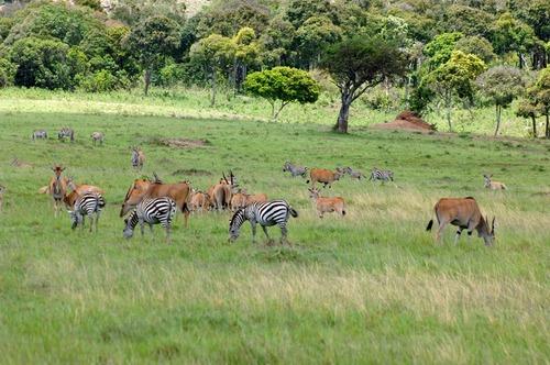 Grants Zebra - Equus quagga boehmi - Masai Mara NP Kenya - D2X 2017-11-02-049E.jpg
