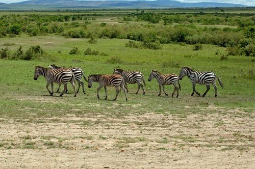 Grants Zebra - Equus quagga boehmi - Masai Mara NP Kenya - D2X 2017-11-03-033CE.jpg