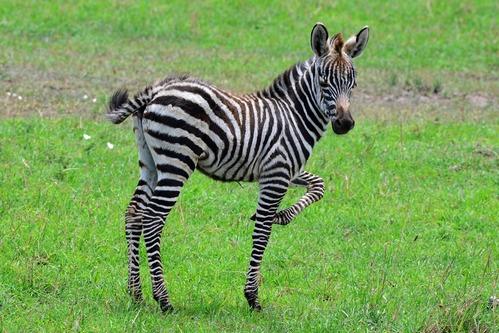 Grants Zebra - Equus quagga boehmi - Masai Mara NP Kenya - D800 2017-11-03-202CE.jpg