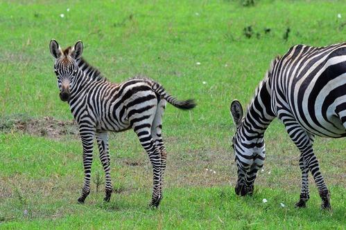 Grants Zebra - Equus quagga boehmi - Masai Mara NP Kenya - D800 2017-11-03-206CE.jpg