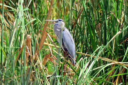 Gray Heron - Ardea cinerea - Lake Manyara NP Tanzania - D800 2017-11-12-169CE.jpg
