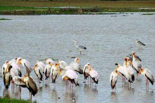 Gray Heron - Ardea cinerea - Lake Manyara NP Tanzania - D800 2017-11-13-074CE.jpg