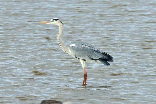 Gray Heron - Ardea cinerea - Lake Manyara NP Tanzania - D800 2017-11-13-074CE2.jpg