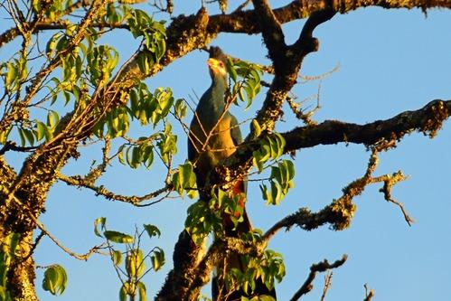 Great Blue Turaco - Corythaeola cristata - Kakamega NP Kenya - D800 2017-10-31-383CE.jpg
