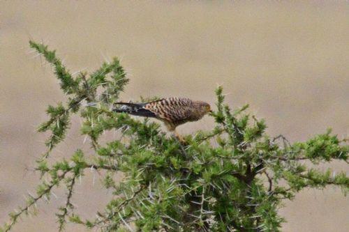 Greater Kestrel - Falco rupicoloides - Serengeti NP Tanzania D800 323 11-16-14CE.jpg