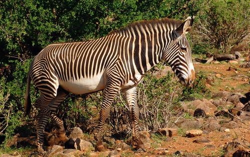 Grevys Zebra - Equus grevyi - Samburu National Park Kenya - D2X 2017-10-25-120CE.jpg