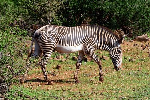 Grevys Zebra - Equus grevyi - Samburu National Park Kenya - D800 2017-10-25-102CE.jpg